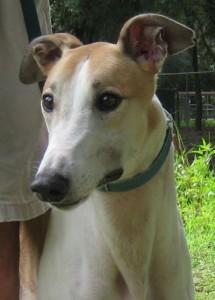 Greyhounds are pets   Sarasota Dog