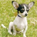 Breed Profile:  Chihuahua