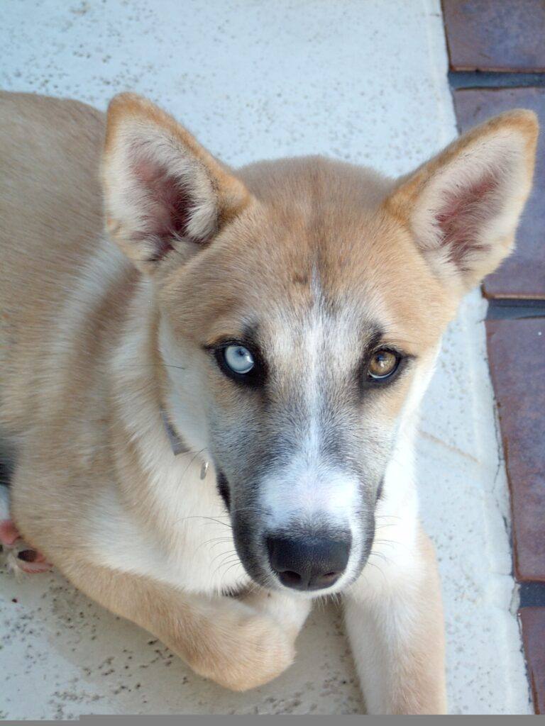 Husky Shepherd Mix Dog - a blend of two great breeds