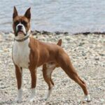 Breed Profile: Boxer