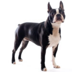 Breed Profile: Boston Terrier