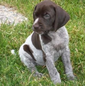 Breed Profile: German Shorthaired Pointer | Sarasota Dog