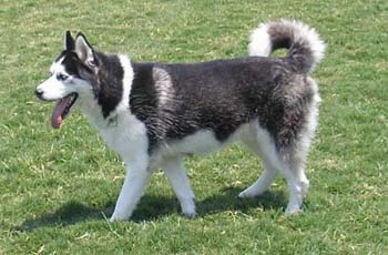 Breed Profile Siberian Husky Sarasota Dog