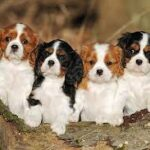 Breed Profile: Cavalier King Charles Spaniel