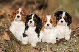 Breed Profile Cavalier King Charles Spaniel Sarasota Dog