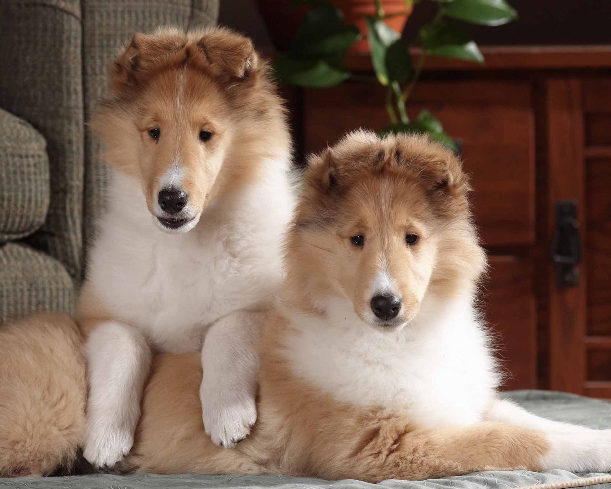 Breed Profile: Collie | Sarasota Dog