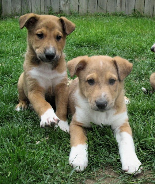 Breed Profile Shepherd Collie Mix Sarasota Dog