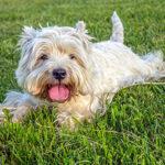 Breed Profile:  West Highland White Terrier – Westie