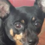 Adoptable Dog of the Week – Baby Girl, a Min Pin