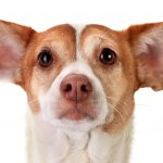 Your Dog's Ears:  To Pluck or Not to Pluck