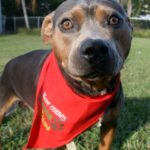 Hello Sterling!  An adoptable dog in Sarasota