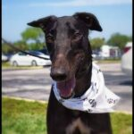 Retired Greyhound Racers looking for homes