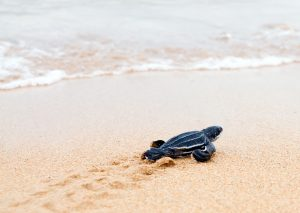Newly hatched baby  leatherback turtles and its footprint in the sand