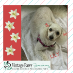 Lily – Sweet Poodle-Bichon for Adoption