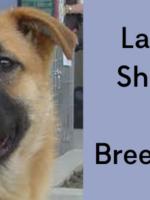 labrador shepherd mix | Saraspta Dog