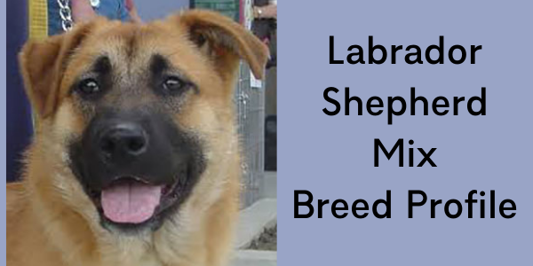 labrador shepherd mix | Saraspta Dog